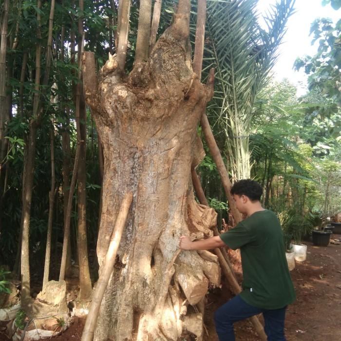 Cara menanam pohon pule tanpa akar,jual jual pohon pule fosil bonsai sudah proses karantina tukang taman kab bogor cvrindualam tokopedia