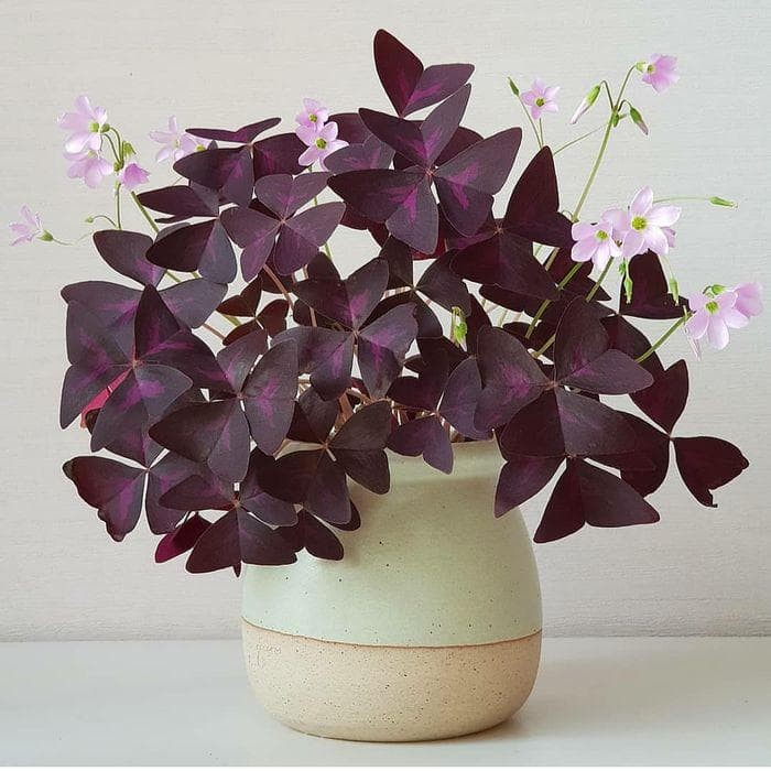 Jual Tanaman Hias Bunga Kupu Kupu Ungu Love Plant Purple Shamrock Jakarta Barat Betran1 Tokopedia