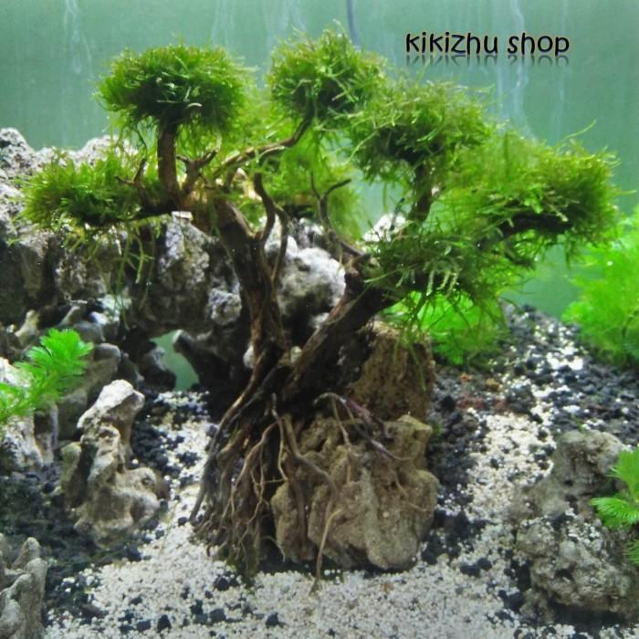 Jual Pohon Bonsai Aquascape Aquarium Tree On A Stone Kota Tangerang Selatan Kikizhu Shop Tokopedia