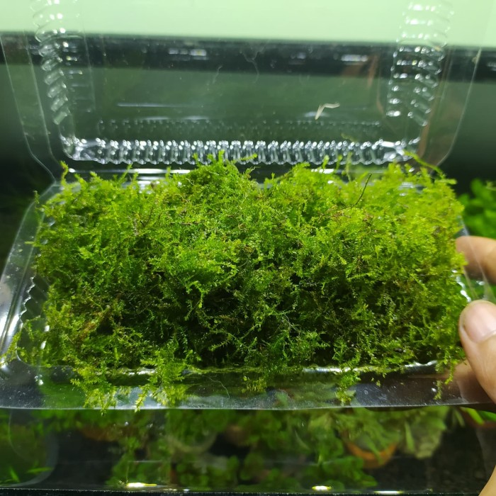 Jual Tanaman Aquascape Moss Weping Kab Banyumas Nfs Aquascape Tokopedia