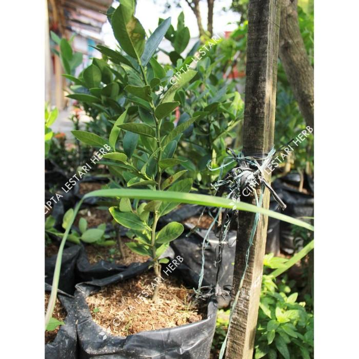 Jual Bibit Pohon Jeruk Lemon Kuning Tanaman Okulasi Cepat Berbuah Jakarta Selatan Santun Shop1 Tokopedia