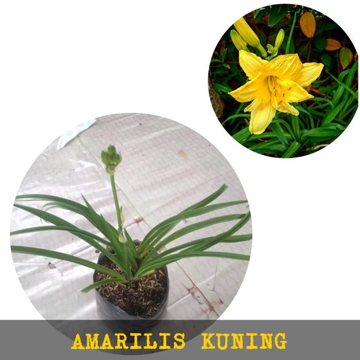 Jual Bunga Amarilis Kuning Bakung Kuning Kab Bogor Grass Store Tokopedia