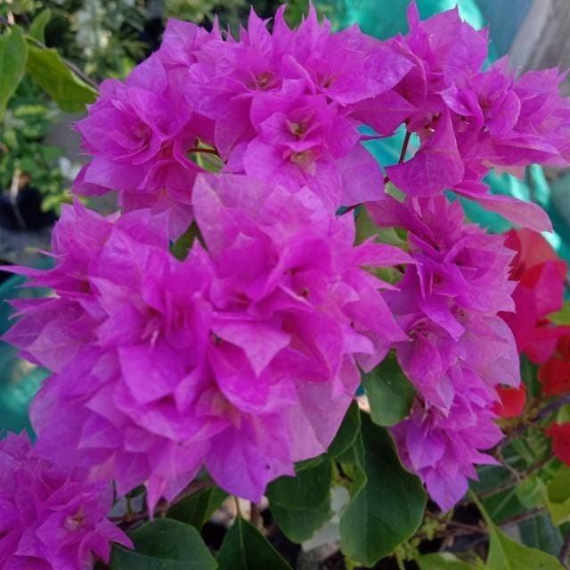 Jual Bibit Tanaman Hias Bunga Bougenville Pink Kab Pasuruan Flowergarden Tokopedia