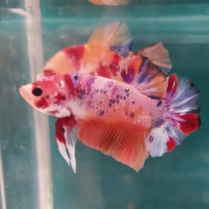 Jual Ikan Cupang Nemo Candy Ukuran M Kab Karawang Afiqashop Tokopedia