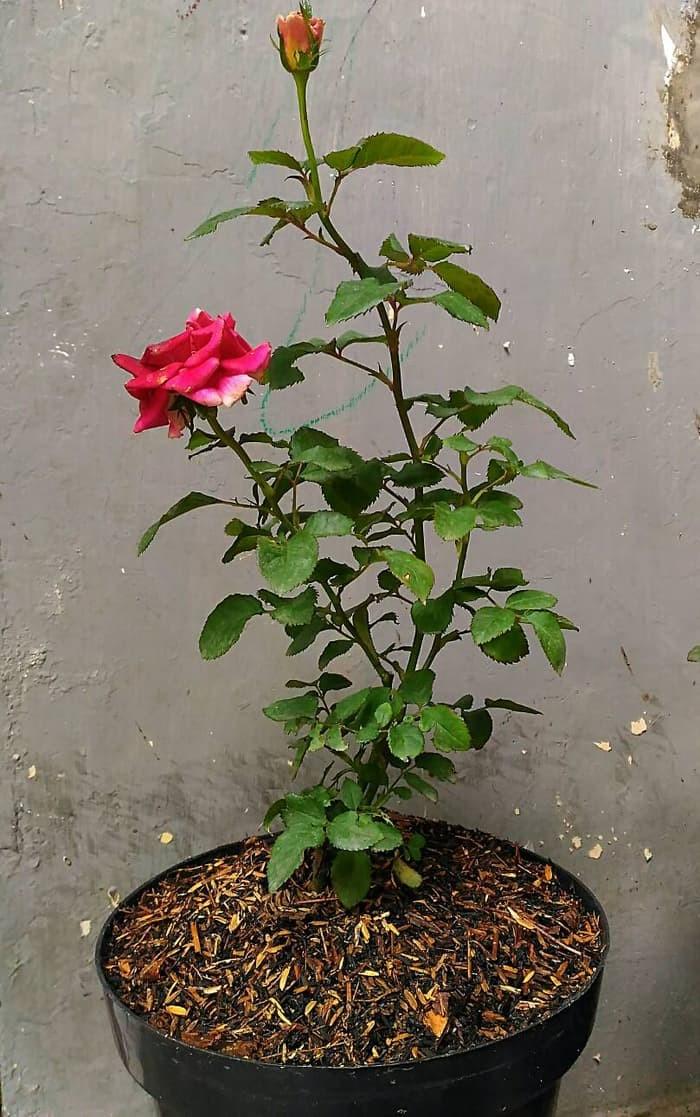 Jual Tanaman Hias Bunga Mawar Merah Kab Bogor Sapa Alam Tokopedia