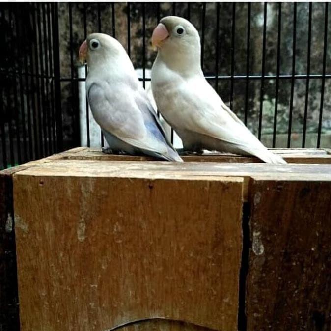 Jual Promo Burung Lovebird Bs Mouve Sepasang Dewasa Siap Produksi Terjamin Kota Tangerang Cullen Mart534 Tokopedia
