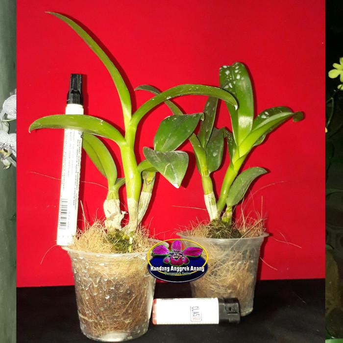 Jual Anggrek Dendrobium Remaja 3 Id Contoh Bunga Foto Terlampir Kab Trenggalek Bakul Ndeso Trenggalek Tokopedia