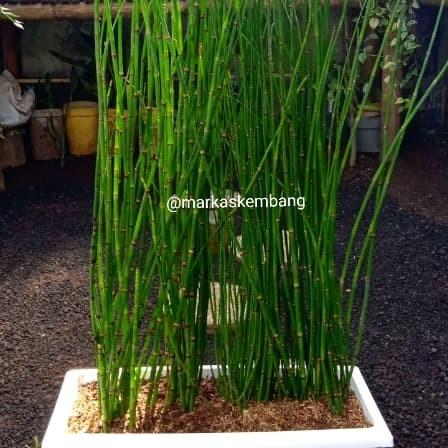 Jual Tanaman Hias Bambu Air Kab Bandung Barat Markas Kembang Tokopedia
