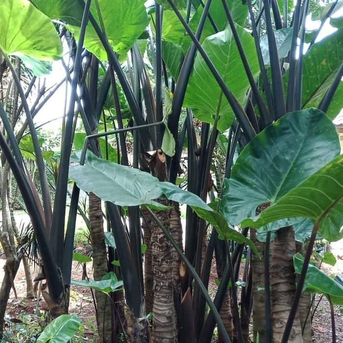 Jual Tanaman Hias Keladi Hitam Batang Besar Tinggi 2 3 Meter Sp381 Kab Bogor Pelangisejahtera Tokopedia