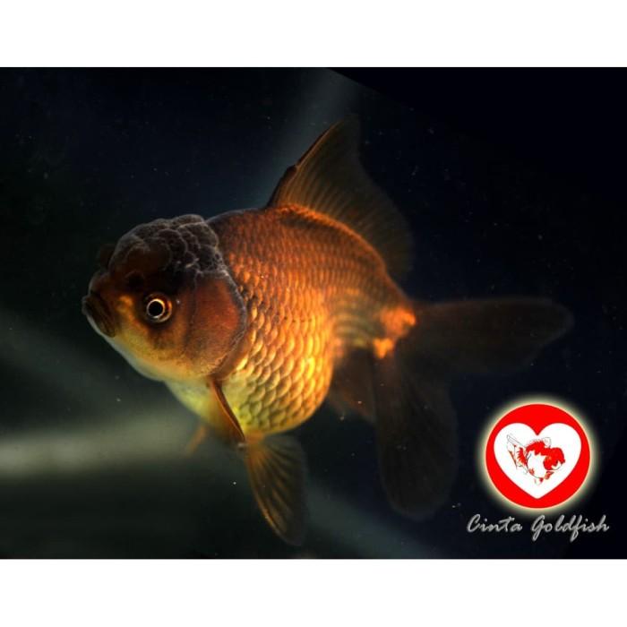 Jual Ikan Hias Maskoki Mas Koki Black Gold Aquarium Aquascape Jumbo 12cm Jakarta Timur Rumahbully Tokopedia