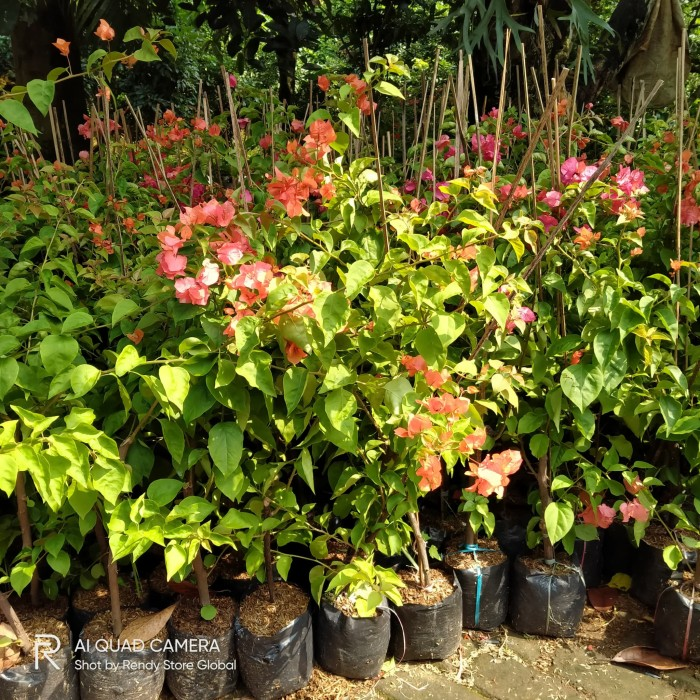 Jual Tanaman Hias Bunga Bougenville Bunga Kertas Bugenvil Kab Bogor Rendy Store Global Tokopedia