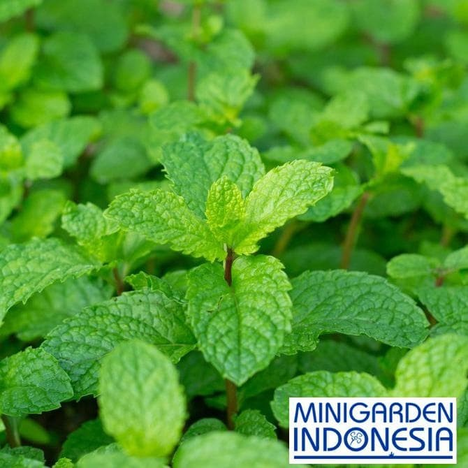 Foto Produk Hapy New Life 50 Benih Herbal Daun Mint F1 Mr. Fothergills Bibit dari praba collections