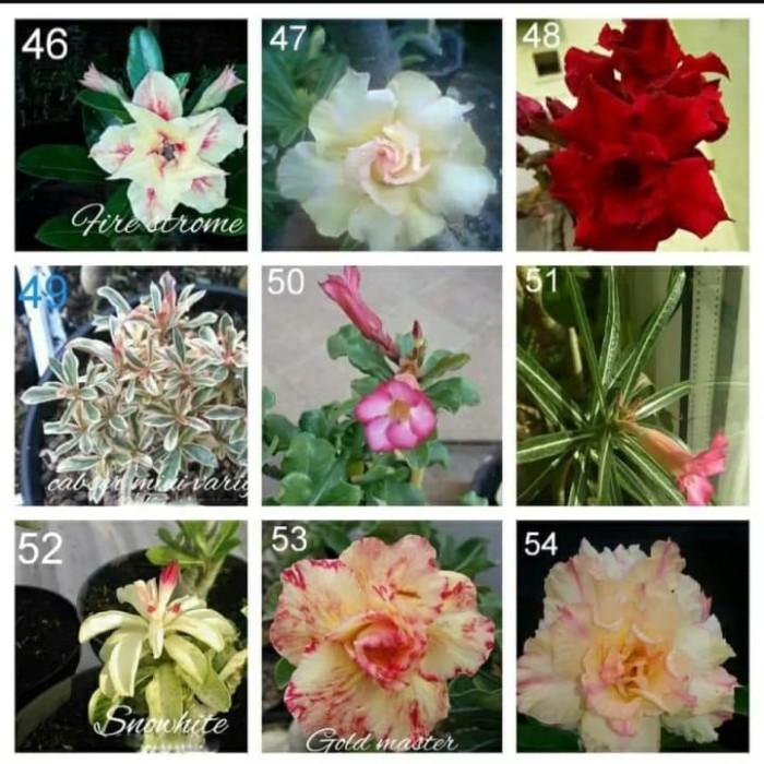 Jual Paket 9 Tanaman Hias Kamboja Jepang Adenium Bunga Tumpuk Terbaru Kota Depok Anam Flower Tokopedia