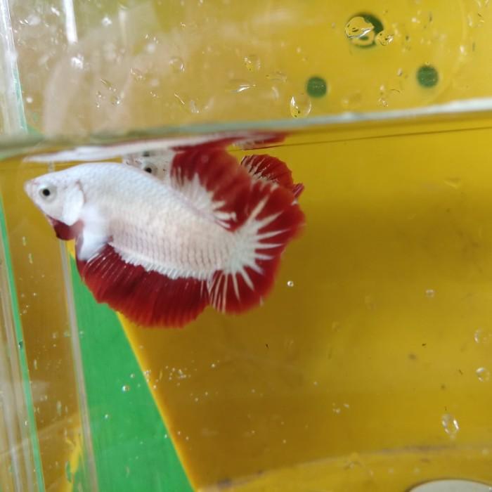 Jual Ikan Cupang Red Dragon Snow Ori Thailand Kab Bekasi Abaybetta Tokopedia