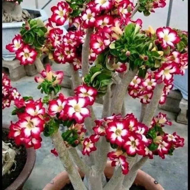 Jual Bibit Bunga Kamboja Adenium Bunga Tumpuk Merah Putih Kab Bogor Shaky Garden Landscape Tokopedia