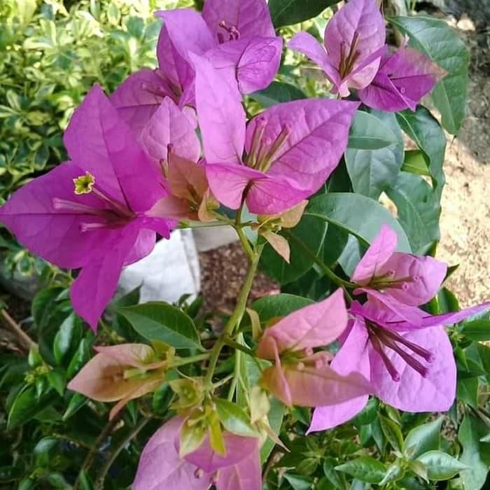 Jual Tanaman Hias Bugenvil Bougenville Bunga Kertas Kab Bogor Umay Taman Tokopedia