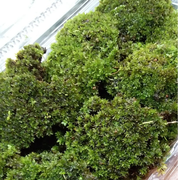 Jual Star Moss Darat Paludarium Terarium Porsi Mika Tortula Ruralis Kab Bogor Bluegreenfarm Tokopedia