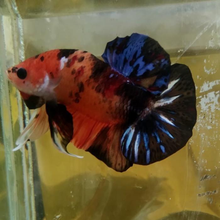 Jual Ikan Cupang Nemo Emerald Kualitas Kontes Top Grade Kab Bogor Denwatch Tokopedia