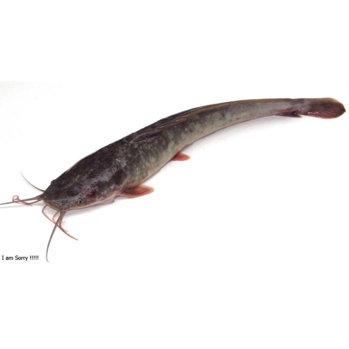 Jual Ikan Lele Jakarta Timur Farmfiz Tokopedia