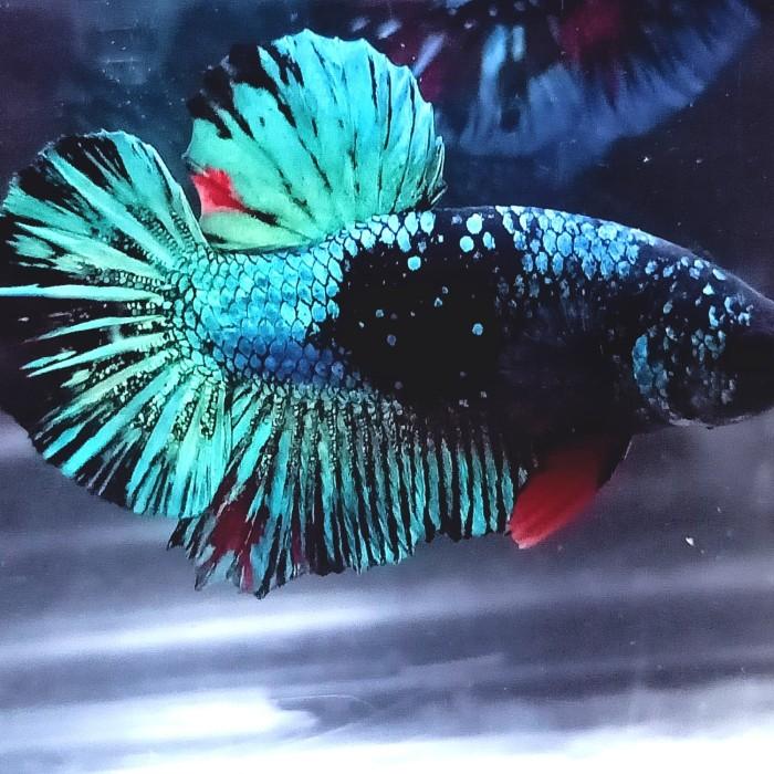 Jenis Ikan Cupang Avatar Gordon