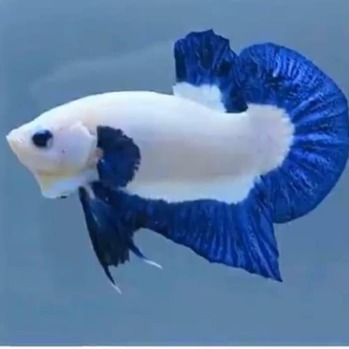 Jual Ikan Cupang Blue Rim Kota Bekasi Gusdebagus Tokopedia
