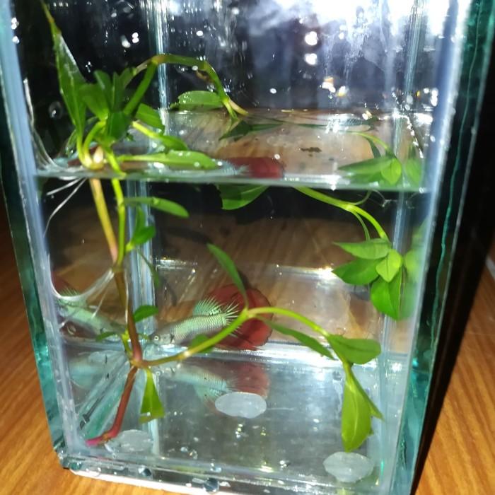Jual Aquarium Soliter Ikan Cupang Hias Cocok Untuk Kamar Ruang Tamu 8x12cm Kab Bekasi Anggaraayra Tokopedia