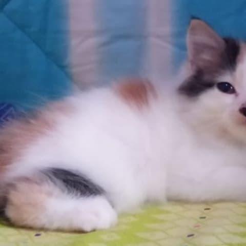 Jual Kucing Kitten Anggora Persia Kucing Kitten Kucing Jantan Betina Jakarta Barat Thyo Shop Tokopedia