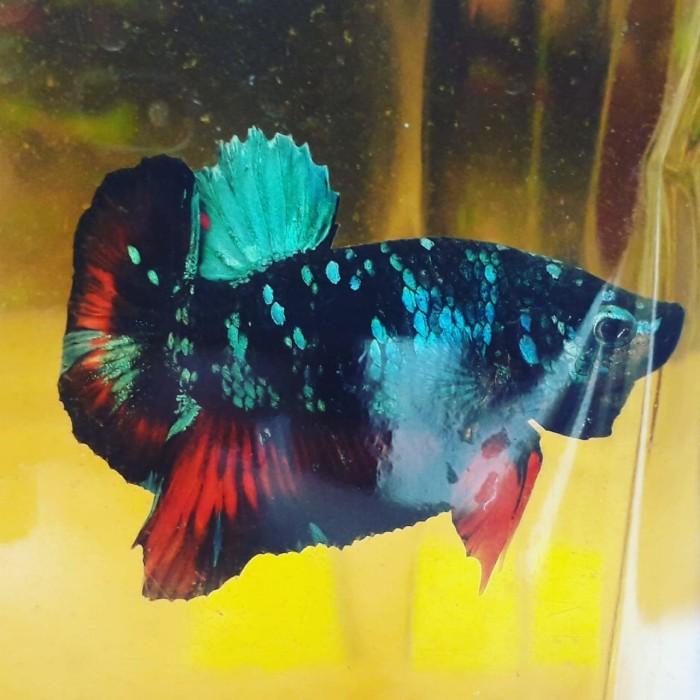 Jual Ikan Cupang Avatar Gordon Line Kalimaya Kota Tangerang Selatan Anak Anak Ikan 117 Tokopedia