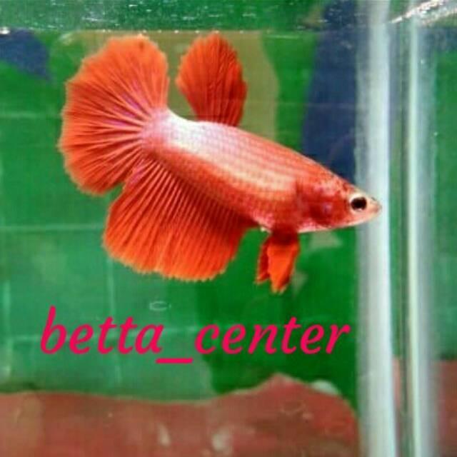 Jual Ikan Cupang Hias Betina Half Moon Super Red Size Indukan Beli 1 Jakarta Barat Ascarya Galeri Tokopedia