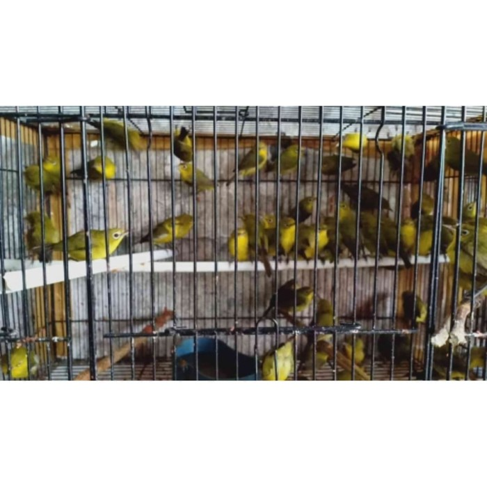 Jual Pleci Lombok Jakarta Pusat Mi Burung Indonesia Tokopedia