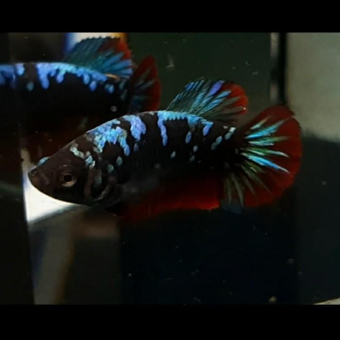Jual Ikan Cupang Female Avatar 8 Kab Bogor Bettaden Tokopedia