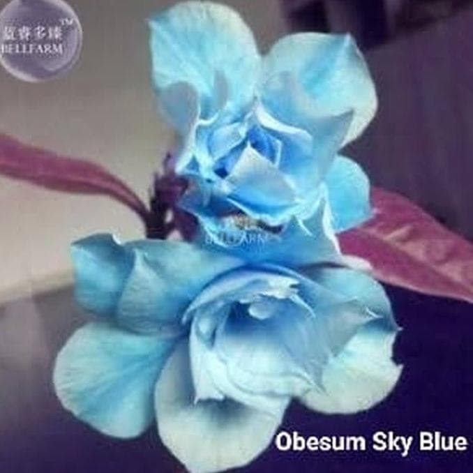 Jual Murah Bibit Bunga Kamboja Adenium Obesum Sky Blue Tanaman Hias Segar Kota Bogor Afifahrokhayati57 Tokopedia