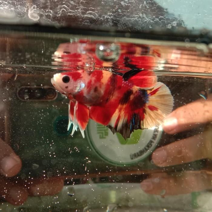 Jual Ikan Cupang Kota Pekanbaru Kualubetta Riau Tokopedia