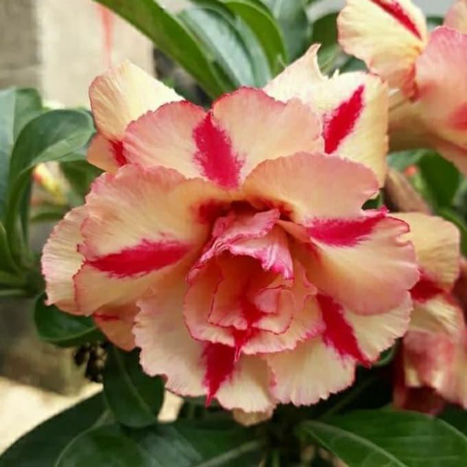Jual Bibit Bunga Kamboja Adenium Butterfly Dream Segar Kota Bogor Afifahrokhayati57 Tokopedia