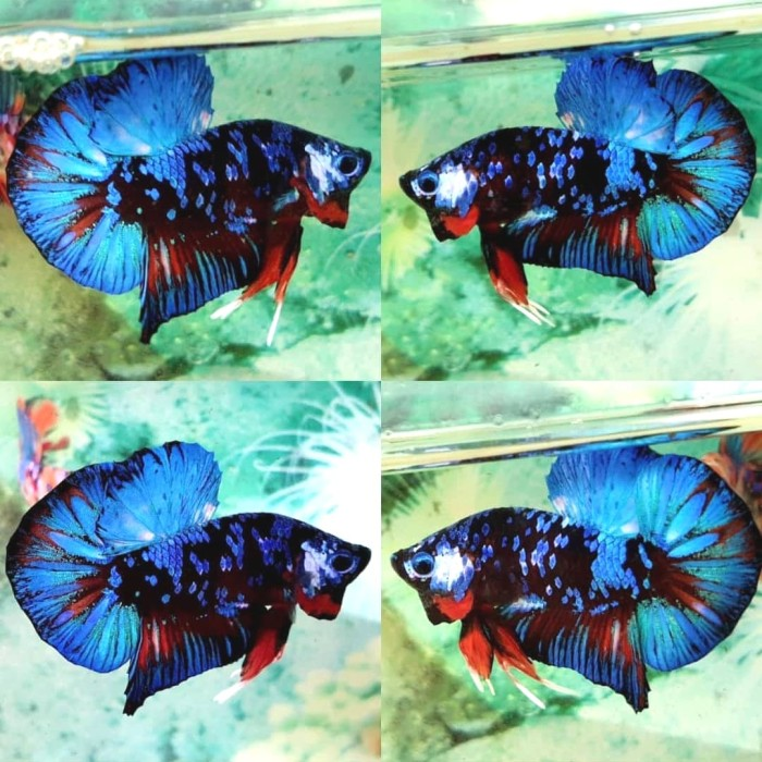 Jual Ikan cupang hias Avatar (Gordon Nemo Vampire Kalimaya ...