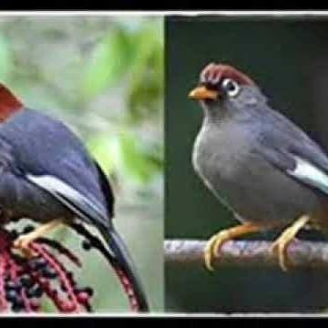 Jual Burung Poksay Mandarin Kota Tangerang Kios Alsha Tokopedia