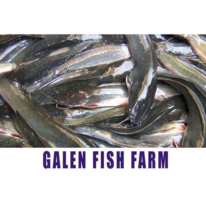 Jual Ikan Lele Konsumsi Segar Hidup 1kg Kota Depok Galen Fish Farm Tokopedia