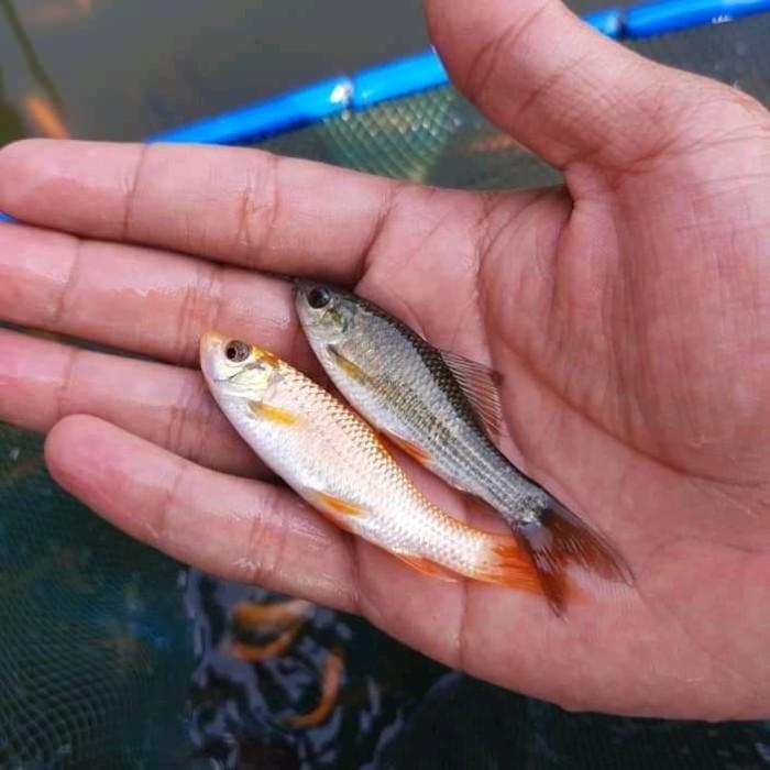 Jual Ikan Nilem Albino Campur Item Kota Tangerang Selatan Anak Anak Ikan 117 Tokopedia