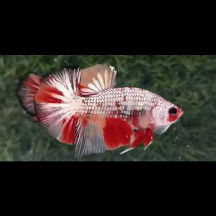 Jual Jual Ikan Cupang Hias Jenis Nemo Cooper Jakarta Barat Kenziefisher16 Tokopedia