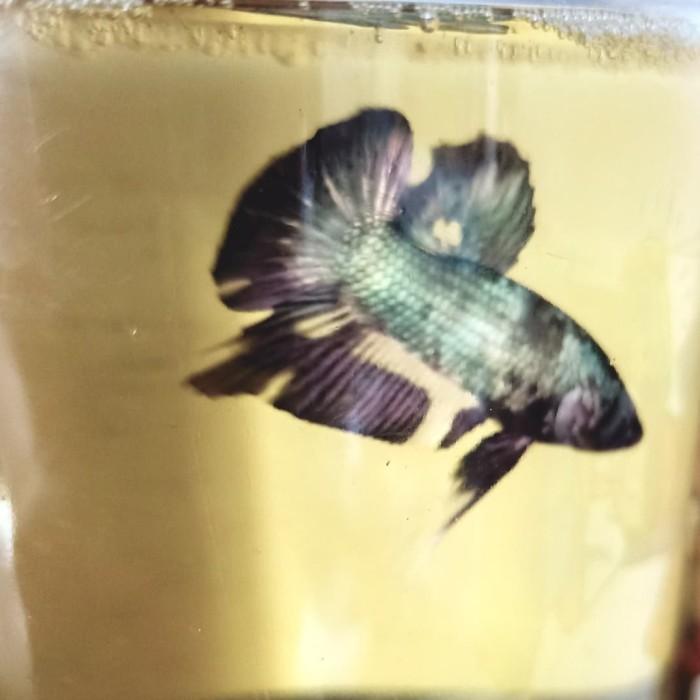 Jual Ikan Cupang Avatar Gold Cooper 03 Kab Labuhanbatu Tb Baringin Rantauprapat Tokopedia