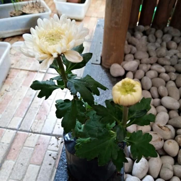 Jual Tanaman Bunga Krisan Putih Bunga Aster Putih Tanaman Hias Jakarta Barat Friendlystore Tokopedia