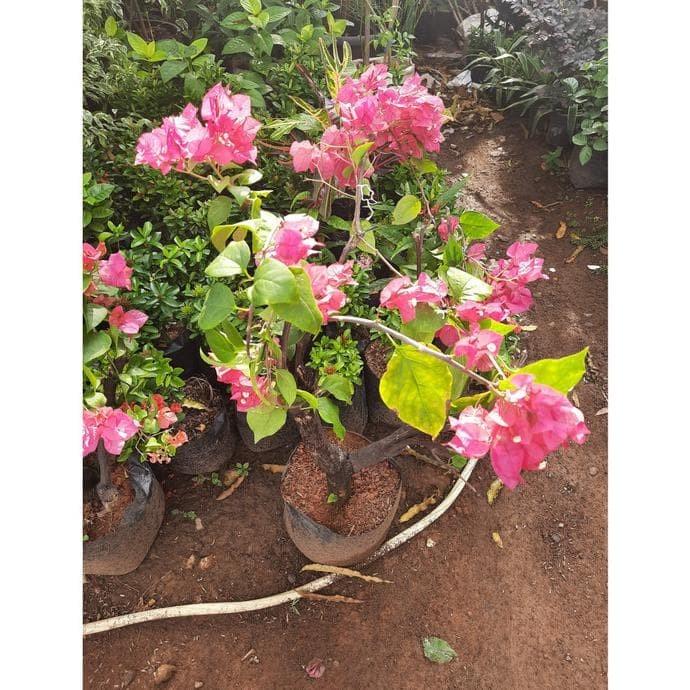 Jual Tanaman Hias Bougenvil Bunga Pink Bunga Kertas Boardstory907 Jakarta Utara Nebe Store Shop Tokopedia