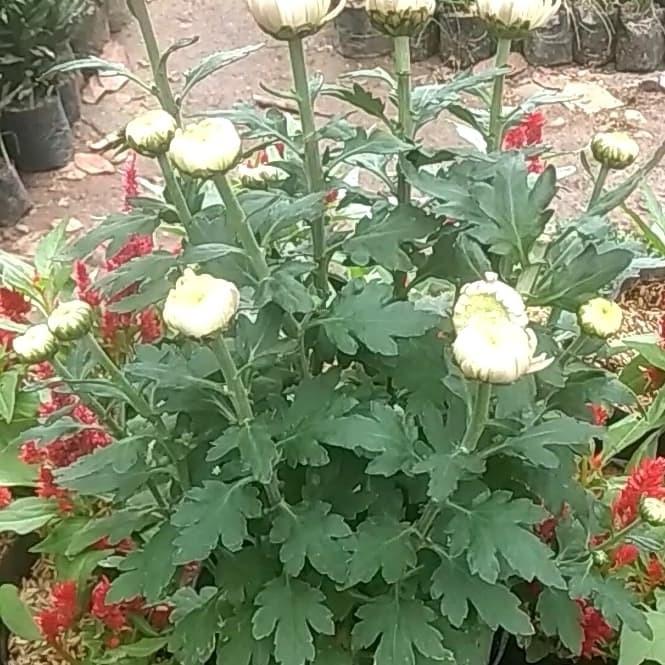 Jual Tanaman Bunga Krisan Bunga Aster Putih Merah Kab Bogor Rafif Flora Tokopedia