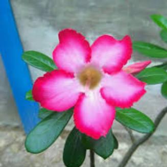 Jual Bunga Kamboja Merah Kab Bogor Tokofloristyunus Tokopedia