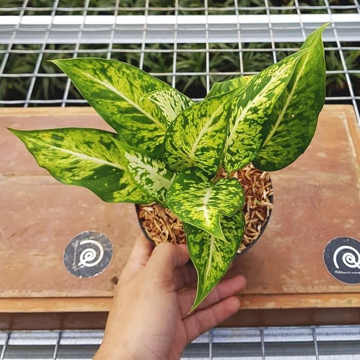 Jual Dieffenbachia Sparkles Dumb Cane Tanaman Hias Mudah Houseplant Kab Bogor Warung Tanaman Tokopedia