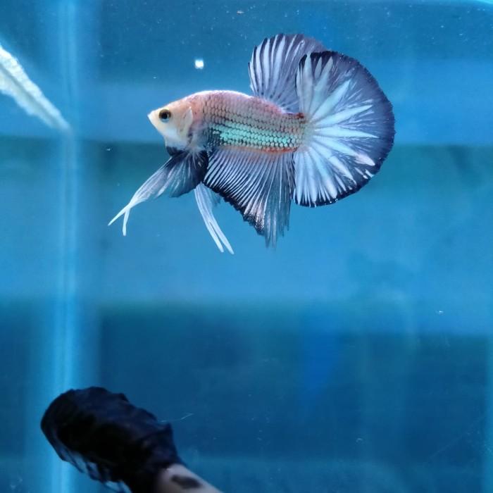 Jual Ikan Cupang Bahan Kontes Sni Kab Demak Semaranghmpk Tokopedia