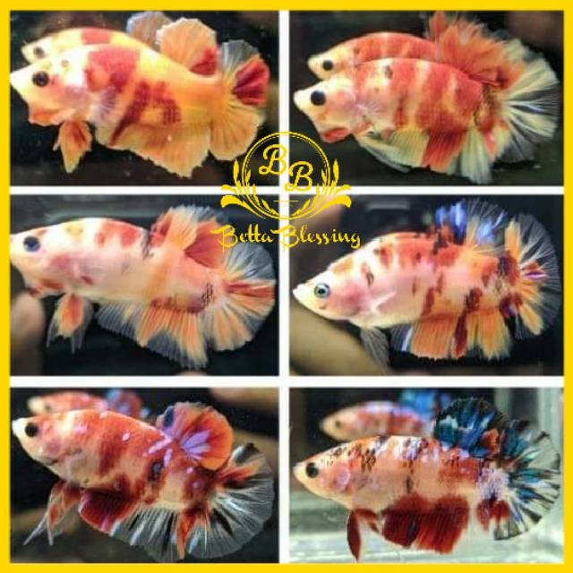 Jual Ikan Cupang Hias Koi Nemo Multi Colour Kab Nganjuk Walstori Tokopedia