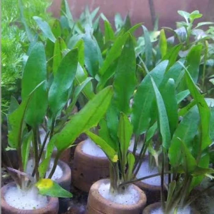 Jual Cryptocoryne Wendeti Green Aquascape Jakarta Barat Amat Aquascape Tokopedia