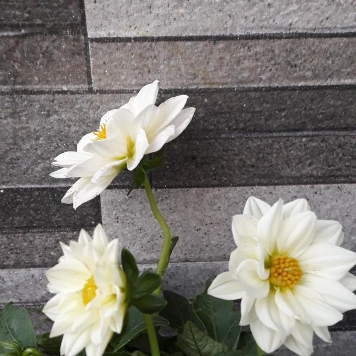 Jual Umbi Bunga Dahlia Putih Kab Magelang Amira Home Tokopedia