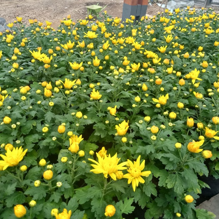 Jual Bunga Aster Krisan Kuning Kab Bandung Barat Sahynflorits Tokopedia